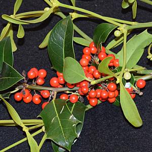 Holly & Mistletoe